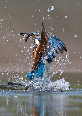 KINGFISHER ERUPTING FROM THE WATER.   10 x 8 MOUNTED PRINT