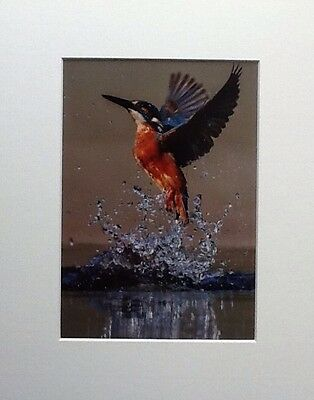 PORTRAIT OF WILD KINGFISHER IN ACTION.  MOUNTED 10x8 READY TO FRAME . SIGNED