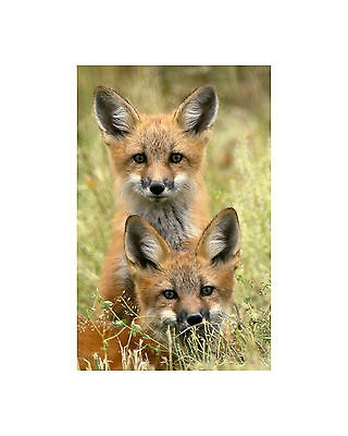 REALLY CUTE FOX CUBS!  mounted 16 x  12 INCHES PRINT READY TO FRAME!