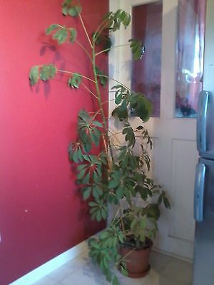Large Wonky Indoor Umbrella Plant 5ft Tall