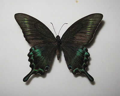 PAPILIO BIANOR MAACKII Male from Far East - Primorskaya Oblast RARE OFFER