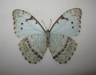MORPHO CATENARIUS Male from Brazil