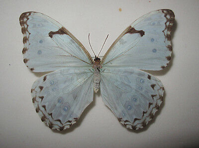 MORPHO CATENARIUS Female from Brazil RARE