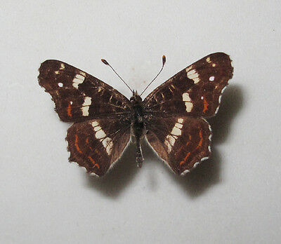 ARASCHNIA LEVANA var. PRORSA Male from Poland becoming RARE