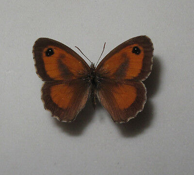 PYRONIA TITHONUS SSP. A1Male from Bulgaria RARE