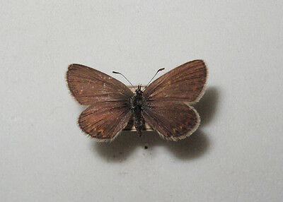 Plebejus argus Female from S Poland RARE