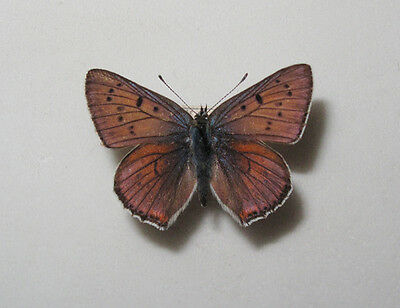 LYCAENA ALCIPHRON A1Male from S Poland RARE