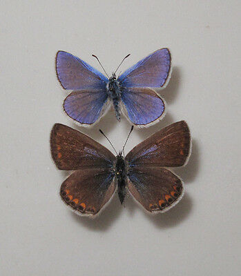 Polyommatus icarus Pair from Czech Republic - S Moravia