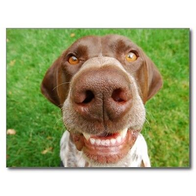 German Shorthaired Pointer Smile Postcard (Pack of 4) GSP