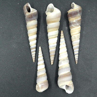 5pcs Beautiful top rare real sea Shell Conch HUJ002