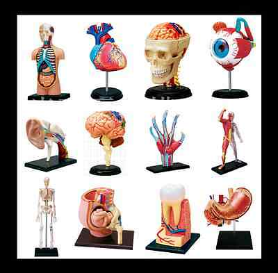 4D Anatomical Models Puzzle Human organ Anatomy CutAway model NIB 21 style chose