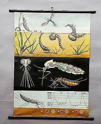 vintage poster by Jung Koch Quentell wall chart mosquito insect culicidae e5201