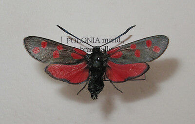 Zygaena filipendulae osterodica Female from Poland
