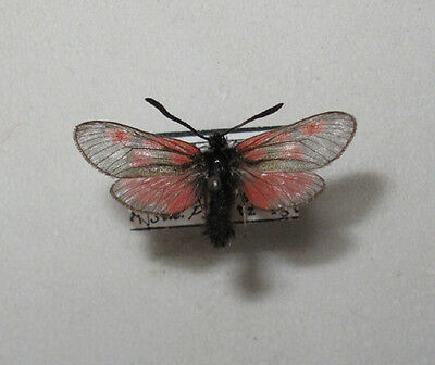 ZYGAENA EXULANS Male from Austria