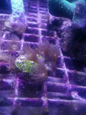 Yellow Polyp Coral Marine Reef Frag