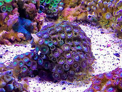 Multicolor Colonial Polyps Zoanthid Not Frag WYSIWYG/Zoa/Reef/Marine/Coral