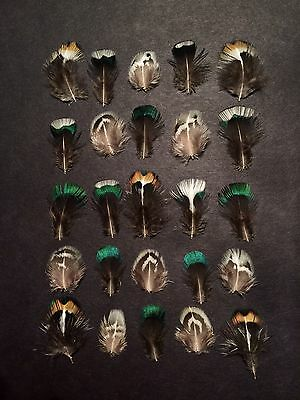 25 x Natural Mixed White Green Blue Striped Black Pheasant Feathers Very Small