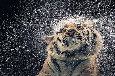 TIGER-TIM FLACH KANJA 24x36 POSTER ARTIST WALL ART ANIMAL DECOR SWEET DANGEROUS!