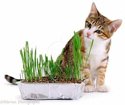 ORGANIC CAT GRASS -BARLEY- Great Treat for Feline Digestive System - 1 LB. SEEDS
