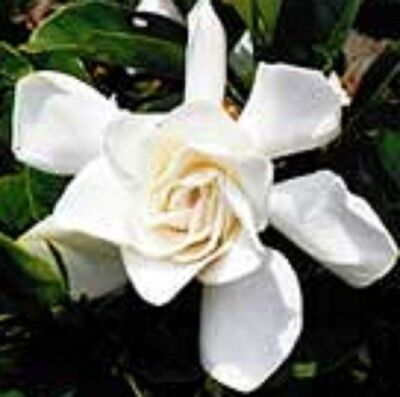 PROFESSOR PUCCI Gardenia fragrant white flowers hedging plant in 140mm pot