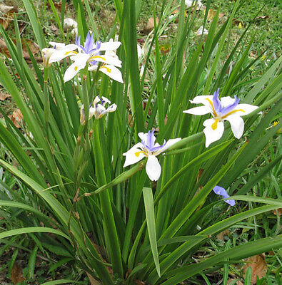 F0174 Dietes Grandiflora x50 seeds, Native, Hardy, Landscape