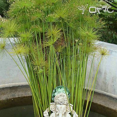 EGYPTIAN PAPER PLANT (Cyperus Papyrus) 20 seeds (#1608)