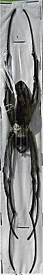 Giant Wood Spider Nephila maculata Female FAST SHIP FROM USA