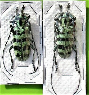 Large Blue & Black Longhorn Beetle Anoplophora birmanica Pair FAST SHIP FROM USA