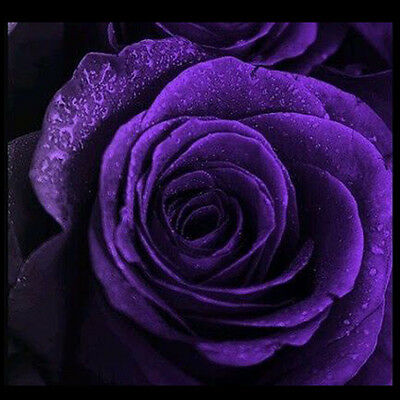 High Quality New Rare 50pcs Purple Rose Seeds Home Garden Plants For Your Lover