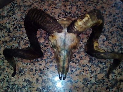 Real Ram Skull with Big Horns