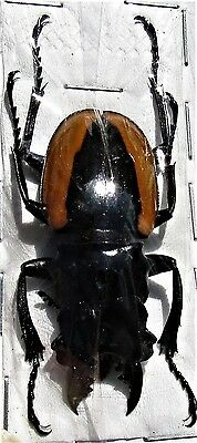 Wollastons Stag Beetle Odontolabis wollastoni 40-49mm Male FAST SHIP FROM USA