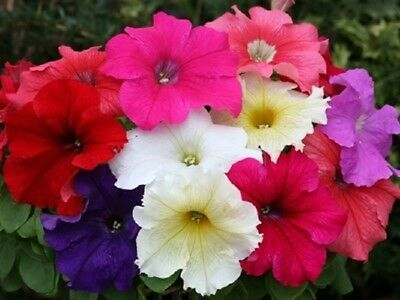 0.1g (approx. 800) large flowered petunia seeds PETUNIA GRANDIFLORA mixed color