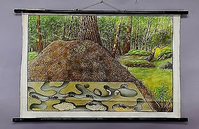 vintage school wall chart - illustration of an anthill ca.1950  e5254