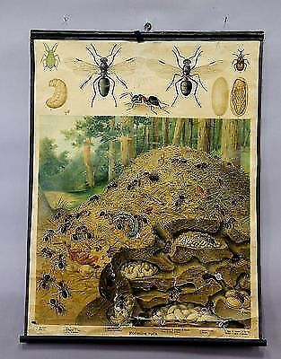 antique wall chart - illustration of an anthill with its denizen ca.1930 e5256