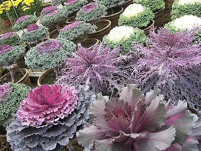 0.3g (approx.100) ornamental cabbage seeds ROUND & FRINGED LEAVED flowering kale