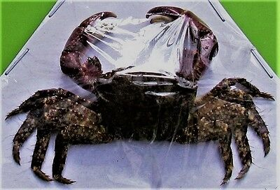Pretty Asian Purple Arm Crab Dried Great for Crafts FAST SHIP FROM USA