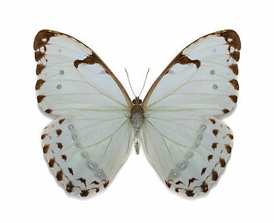 Silver Metallic Morpho Butterfly Morpho (Pessonia) luna Male Folded FAST FROM US