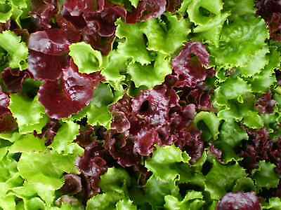 "Lettuce Seeds Red/Green ""Approx 500 Seeds"" Excellent Variety For The Home Garden"