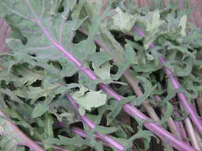 "Kale Seeds ""Red Russian"" (Appox 200 Seeds) Excellent Home Vegetable"