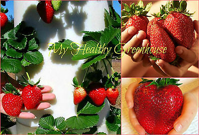 "SEEDS – Giant Strawberry ""Rubygem"" Dense, Upright, Everbearing Extra Large Fruit"