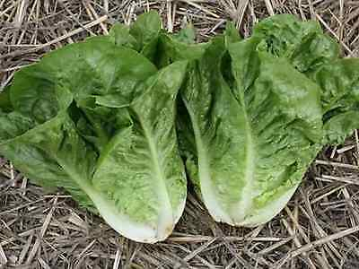 "Lettuce Seeds ""Green Cos"" (Approx 300 Seeds) Excellent Variety"