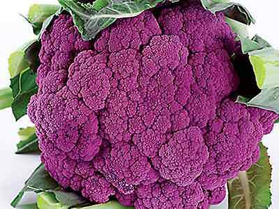 "Cauliflower Seeds ""Purple Sicily"" ( Approx 200 Seeds) Easy To Grow"