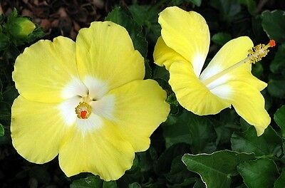 BONAIRE WIND hibiscus rosa sinesis prolific yellow flowers plant in 140mm pot