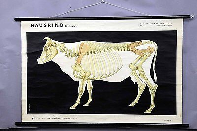 vintage school wall chart - domestic cattle skeleton e5455