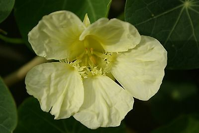 10 Seeds of NASTURTIUM White - Cream Milkmaid / FLOWER