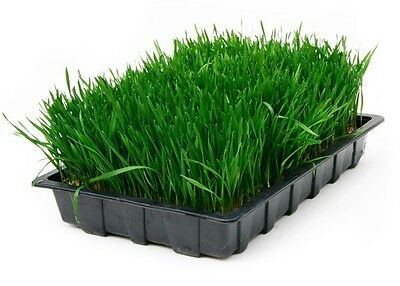 Wheatgrass Seed x800 Seeds - Organic