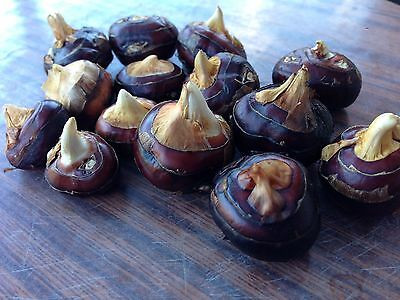 Chinese Water Chestnut x3 Plants -- Organic Homegrown Free Postage