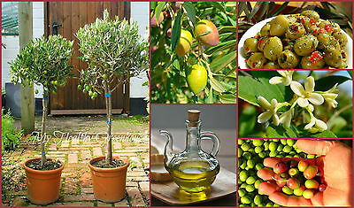 "SEEDS – Dwarf Potted Olive ""Frantoio"" (Olea europaea) Self-pollinating Tree Seed"