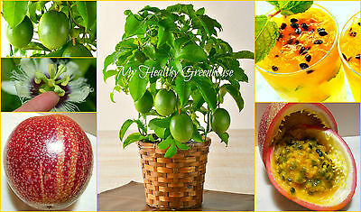 "SEEDS – Dwarf Passion Fruit ""Panama Red Pandora Hybrid"" (Passiflora edulis)"
