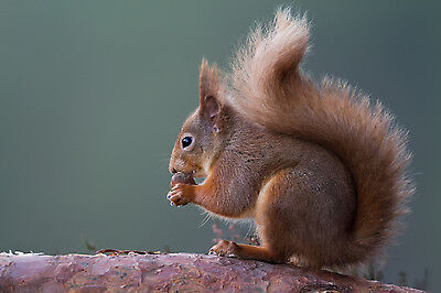 RED SQUIRREL EATING NUT IN SCOTLAND MOUNTED 10 x 8 PRINT